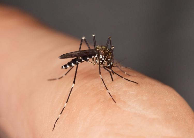 Mcke stechend Stechmcke, Gelse, Asiatische Tigermcke, Tigermoskito, Aedes albopictus