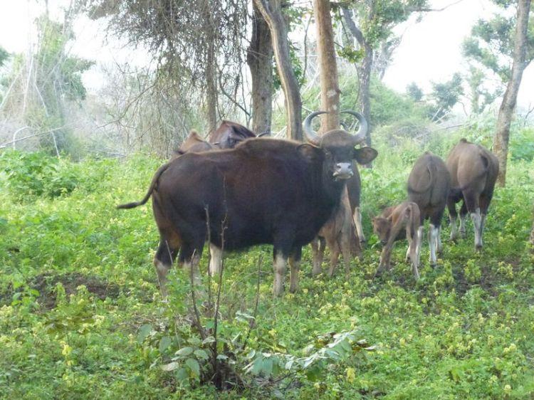 Indischer Bison 2
