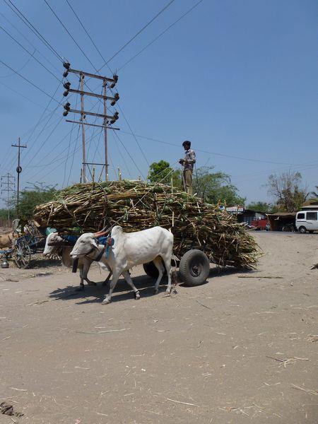 Arbeitstiere bei der Zuckerrohrernte