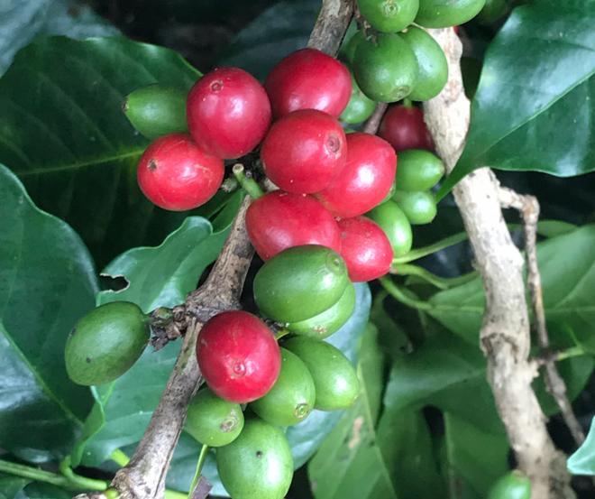 Rote Kaffeebeeren